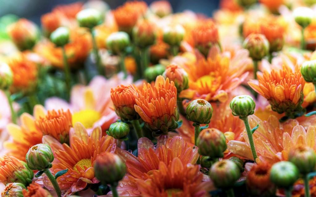 Cute Daisies Flowers - Cute Daisies Flowers