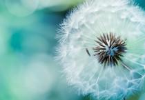 Dandelion Flower - Dandelion Flower