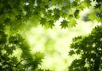 Green Maple Leaves Wallpaper - Green Maple Leaves Wallpaper