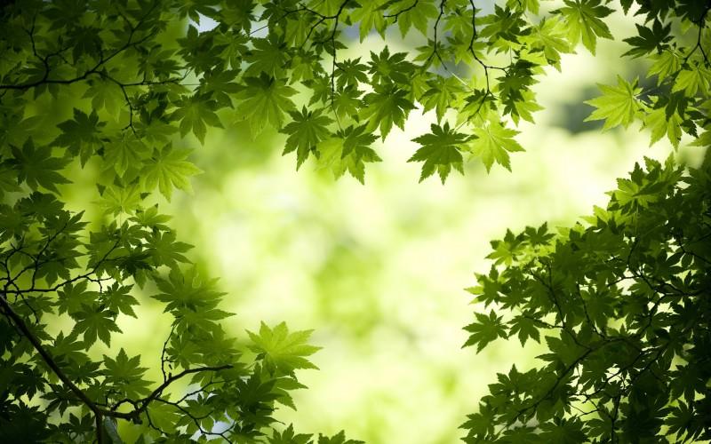 Green Maple Leaves Wallpaper - Green Maple Leaves Wallpaper