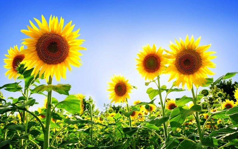 Sunflowers Sky - Sunflowers Sky