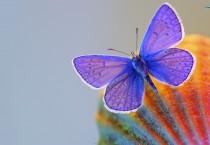 Blue Butterfly - Blue Butterfly