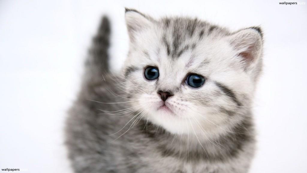 Gray Cat Wallpaper - Gray Cat Wallpaper