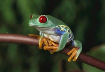 Red Eyes Frog On Branch - Red Eyes Frog On Branch