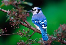 Beautiful Blue Birds - Beautiful Blue Birds