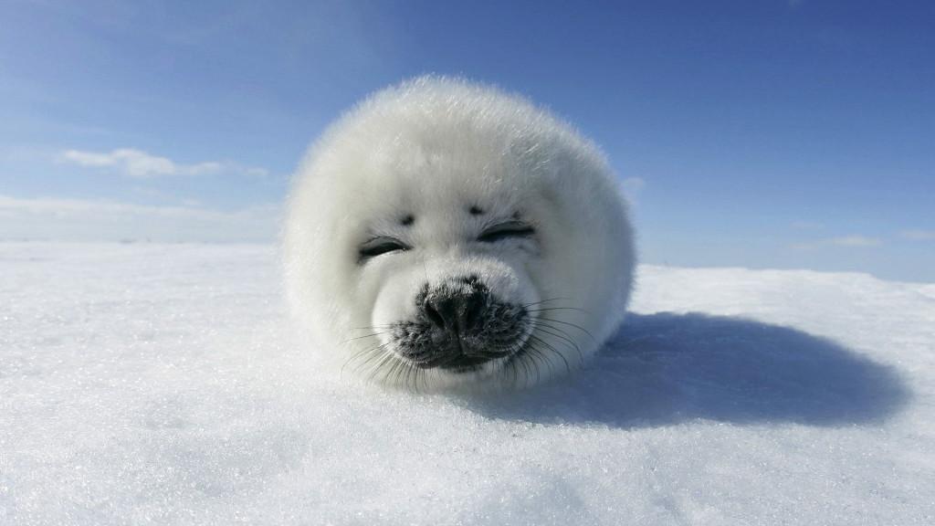 Annoy Seal Photos - Annoy Seal Photos