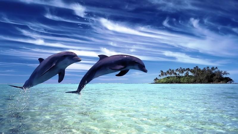 Beautiful Bottlenose Dolphin Wide - Beautiful Bottlenose Dolphin Wide