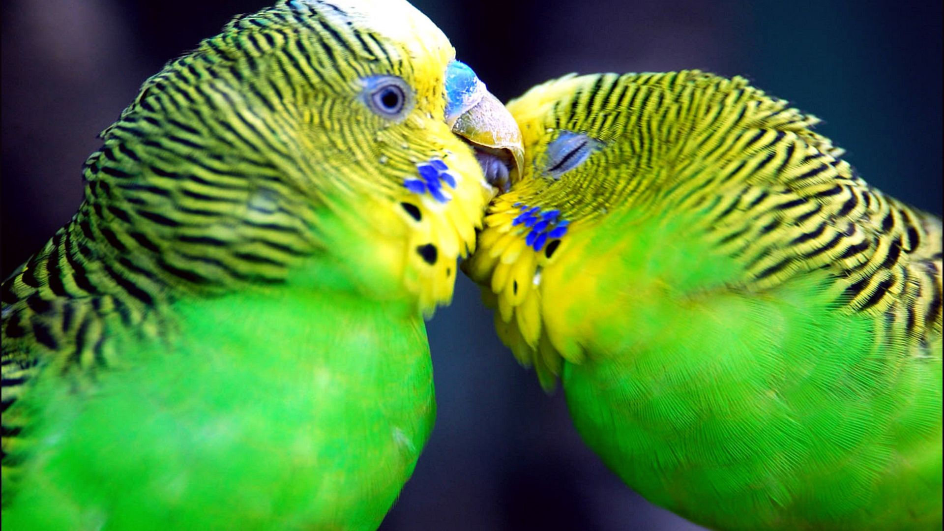 Beautiful Couple Birds - Beautiful Couple Birds
