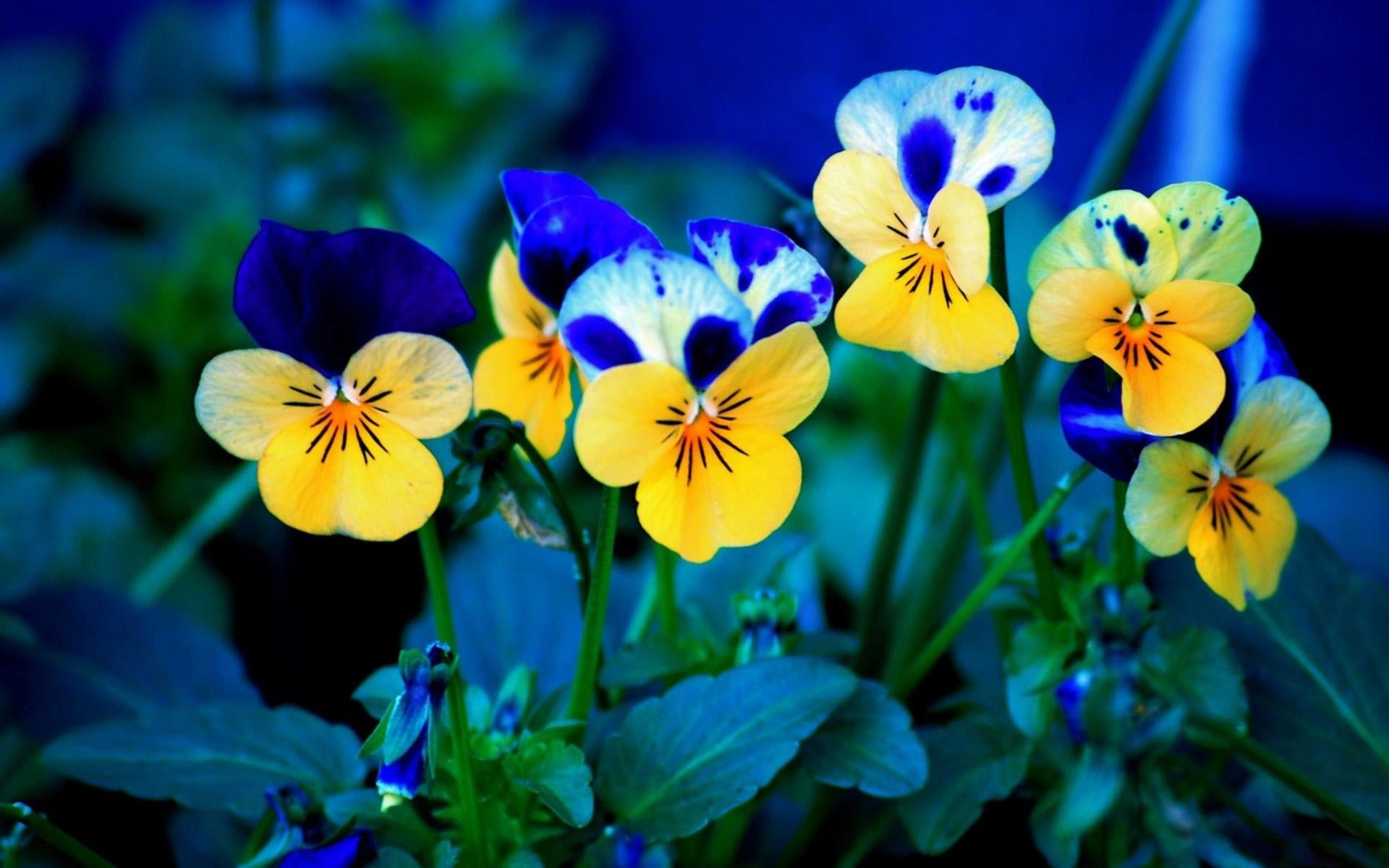 Blue Yellow Flower 1920x1200 - Blue Yellow Flower 1920x1200