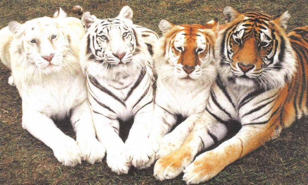 Cool Tigers Photos - Cool Tigers Photos