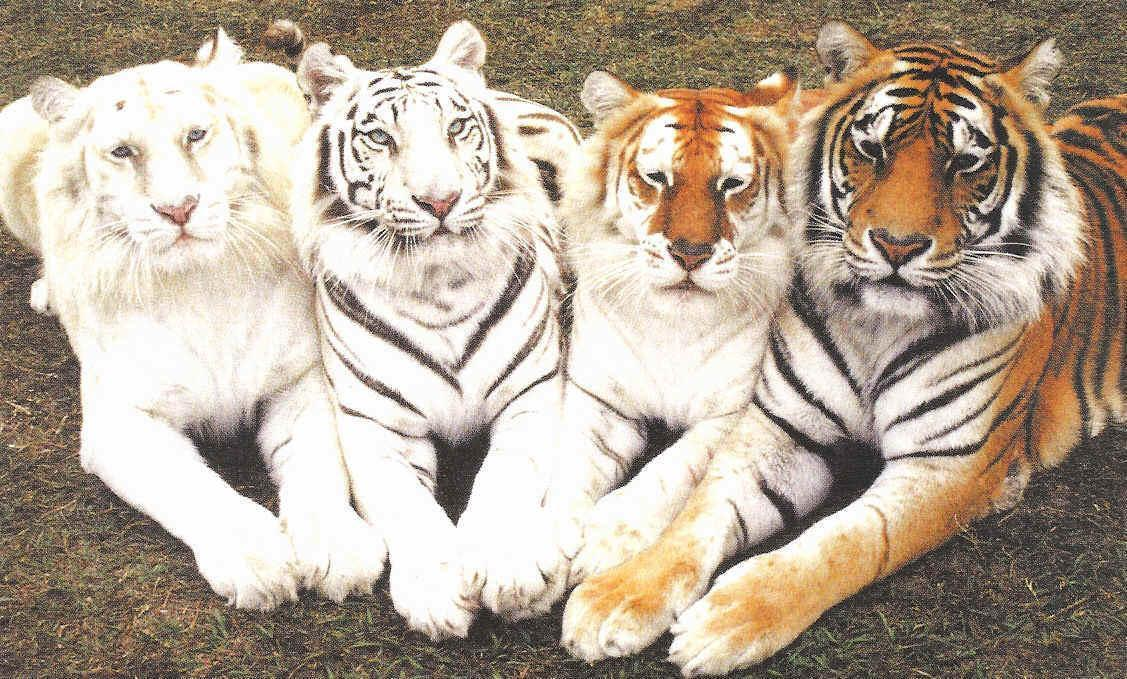 Cool Tigers Photos Animal