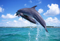 Dolphin Flight On The Sea - Dolphin Flight On The Sea