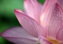 Lotus Crown - Lotus Crown