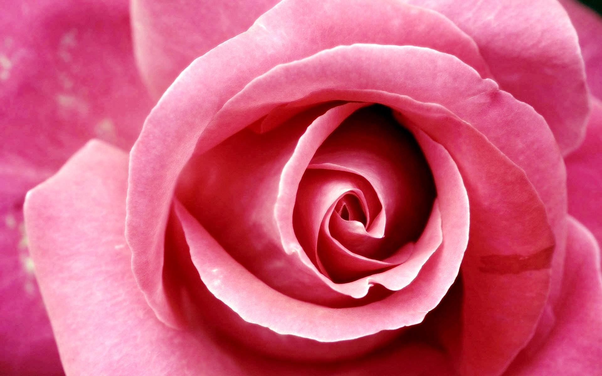 Pink Rose Images - Pink Rose Images