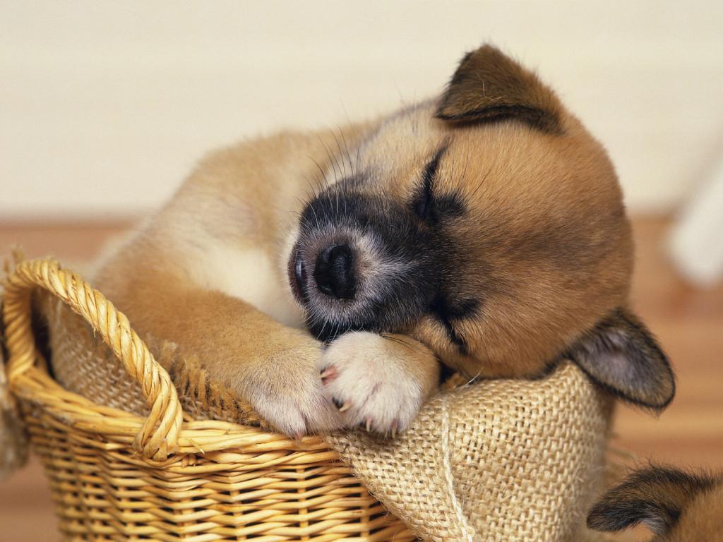 Puppy Sleeping Desktop Wallpaper - Puppy Sleeping Desktop Wallpaper