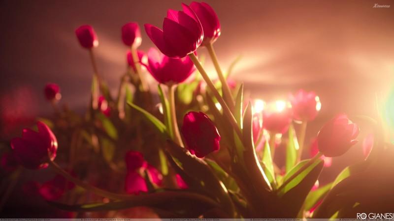 Red Tulips Rays Wallpaper - Red Tulips Rays Wallpaper