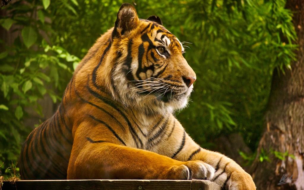Sumatran Tiger Photos - Sumatran Tiger Photos