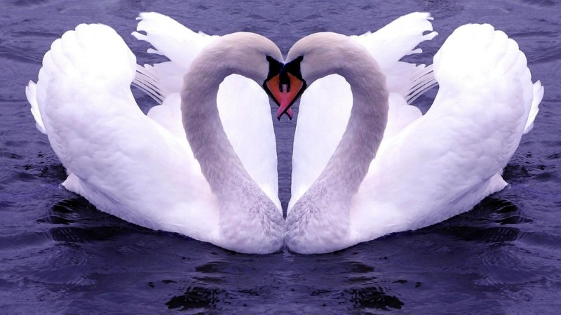 Swan Lake Couple Heart Shaped Photos - Swan Lake Couple Heart Shaped Photos