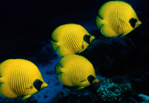 Beautiful Yellow Fish - Beautiful Yellow Fish