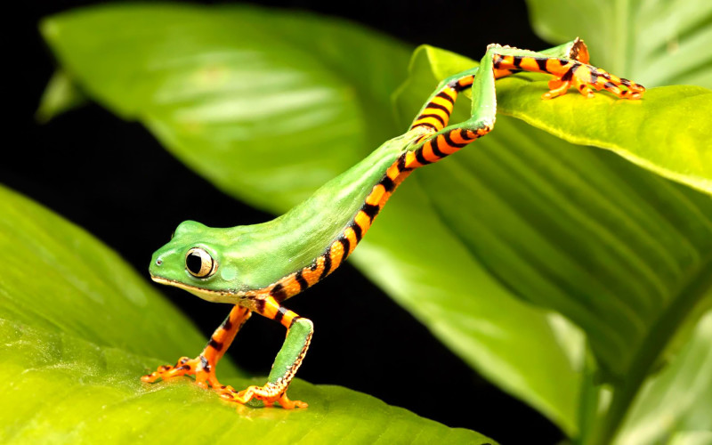 Green Frog Wallpaper - Green Frog Wallpaper
