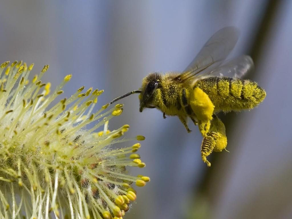Honey Bee Photos - Honey Bee Photos