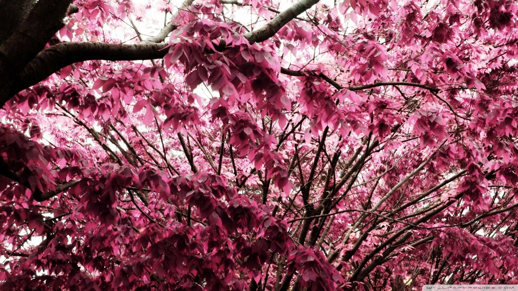 Pink Leaves Widescreen - Pink Leaves Widescreen