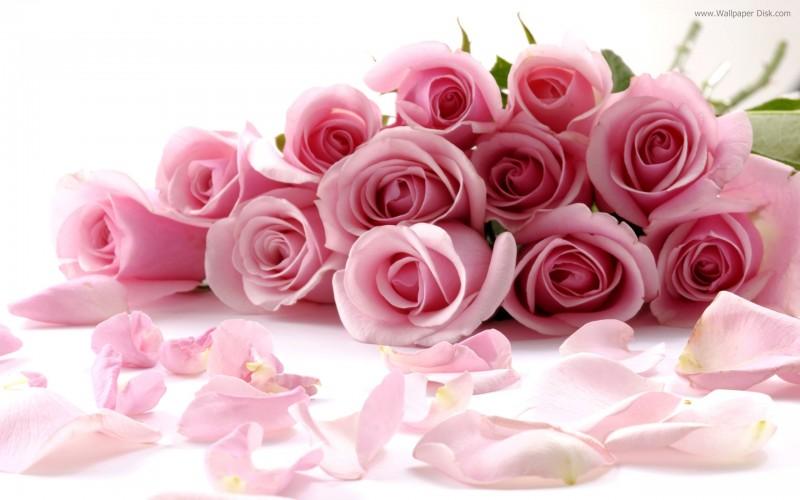 Pink Romance Rose - Pink Romance Rose