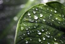 Water Drop Leaves - Water Drop Leaves