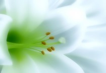 White Lily Background - White Lily Background
