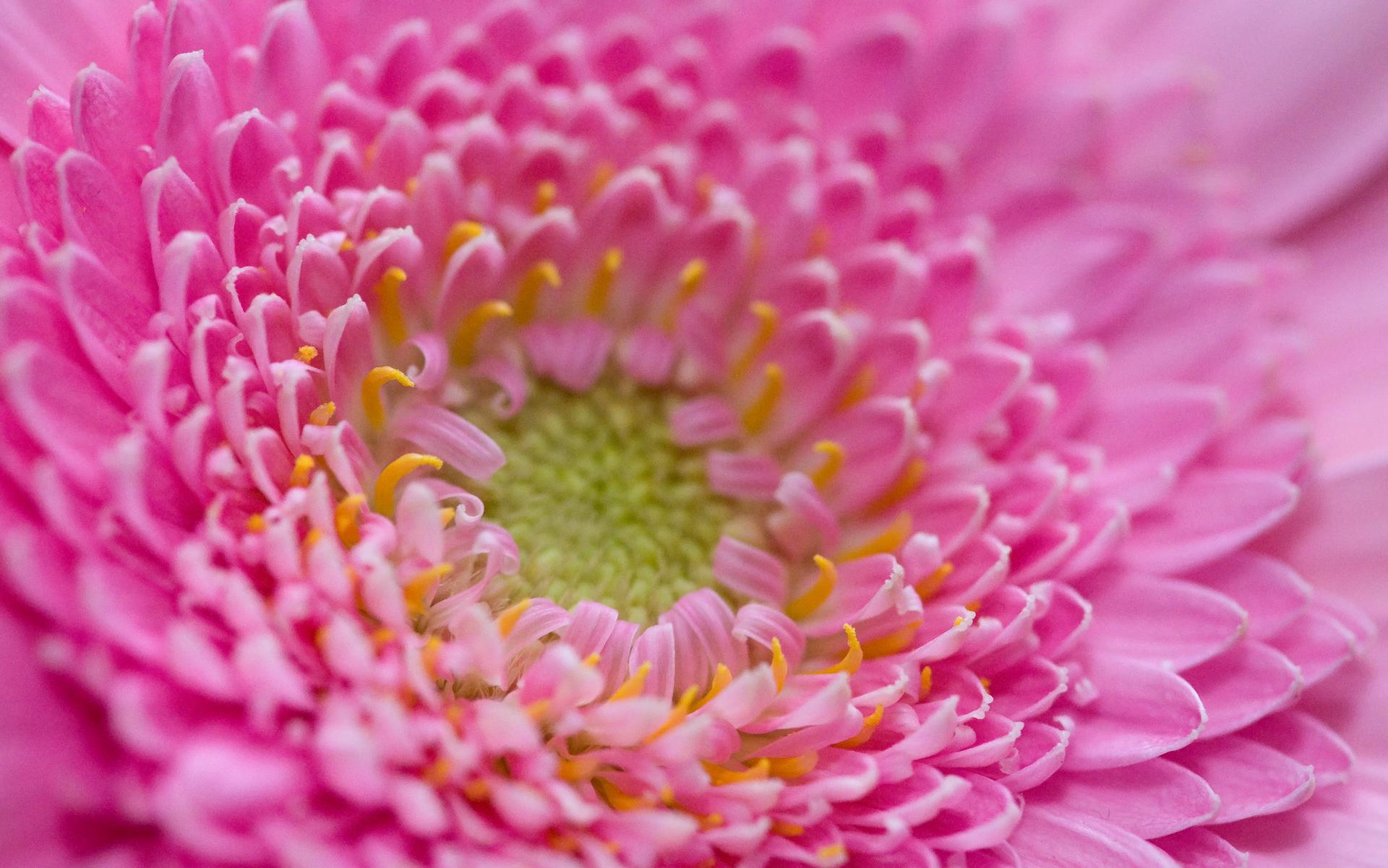 Pink Crown Flowers - Pink Crown Flowers