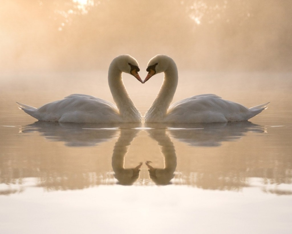 Romantic Swans Of Loving Day - Romantic Swans Of Loving Day