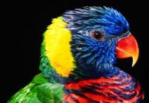 Colourful Lorikeet Birds - Colourful Lorikeet Birds