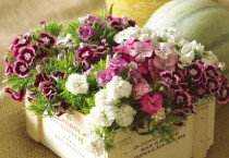 Dianthus Carnation Bucket Box - Dianthus Carnation Bucket Box
