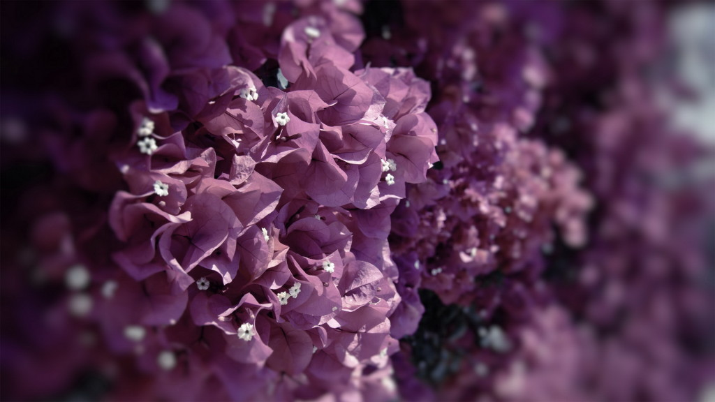 Exotic Purple Bougenville - Exotic Purple Bougenville