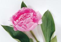 Pink Peony Flowers - Pink Peony Flowers