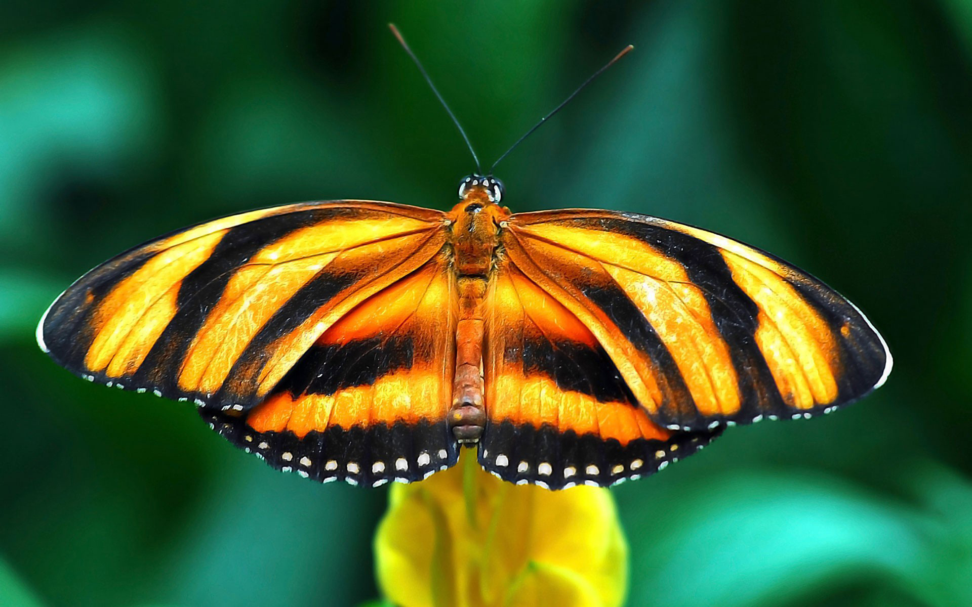 Yellow And Black Butterfly Animal