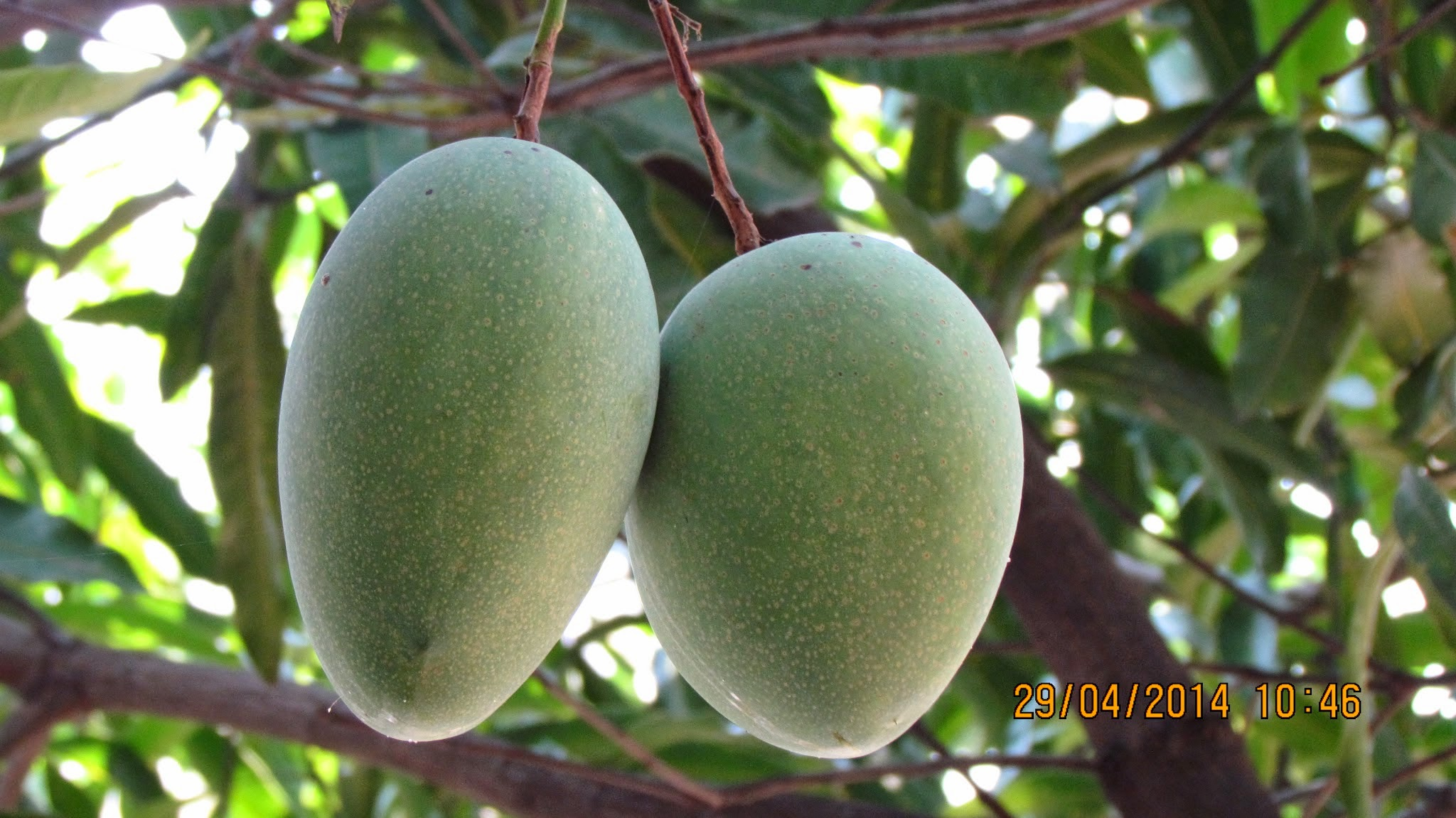 Alampur Baneshan Mangos Hanging From Tree Foods