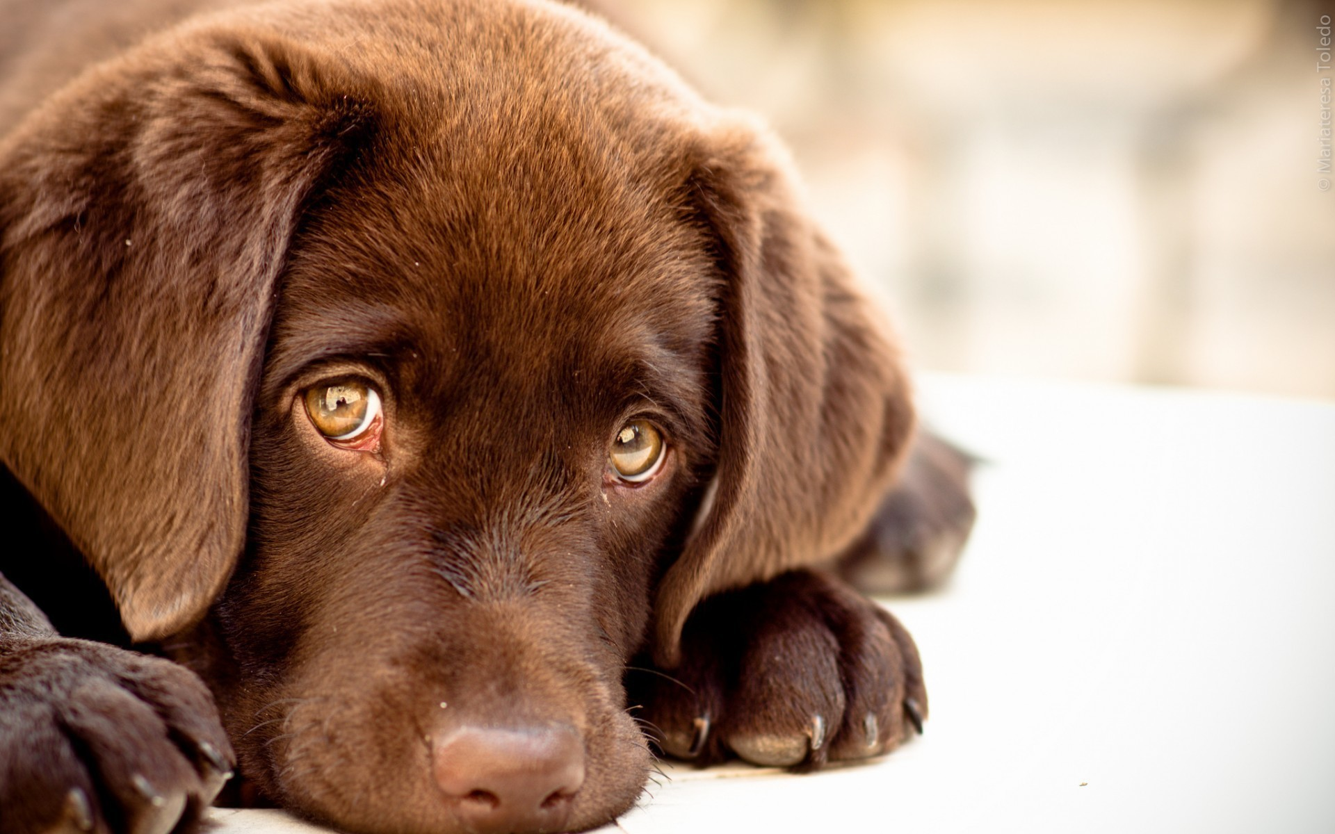 Brown Dog With Sad Eyes Animal