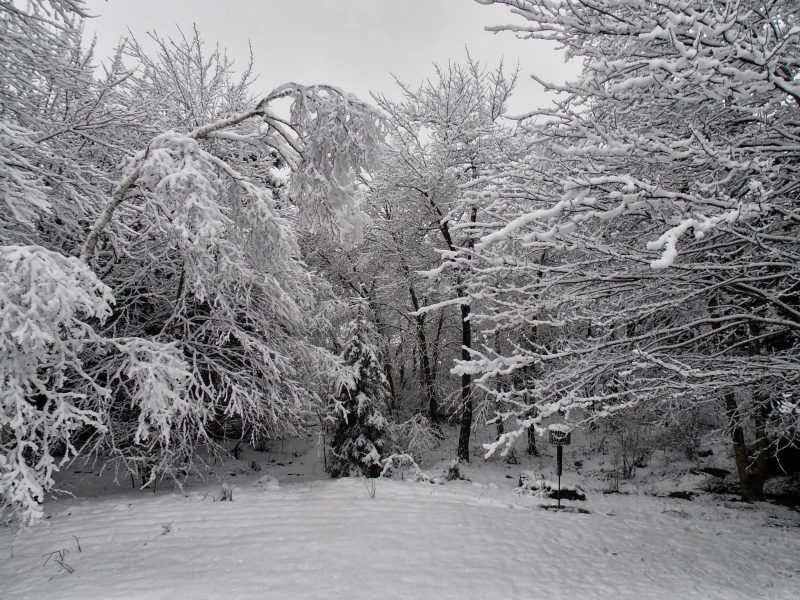 Snow on trees and Limbs